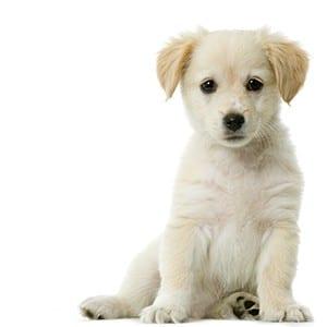 bigstock-Labrador-Retriever-s