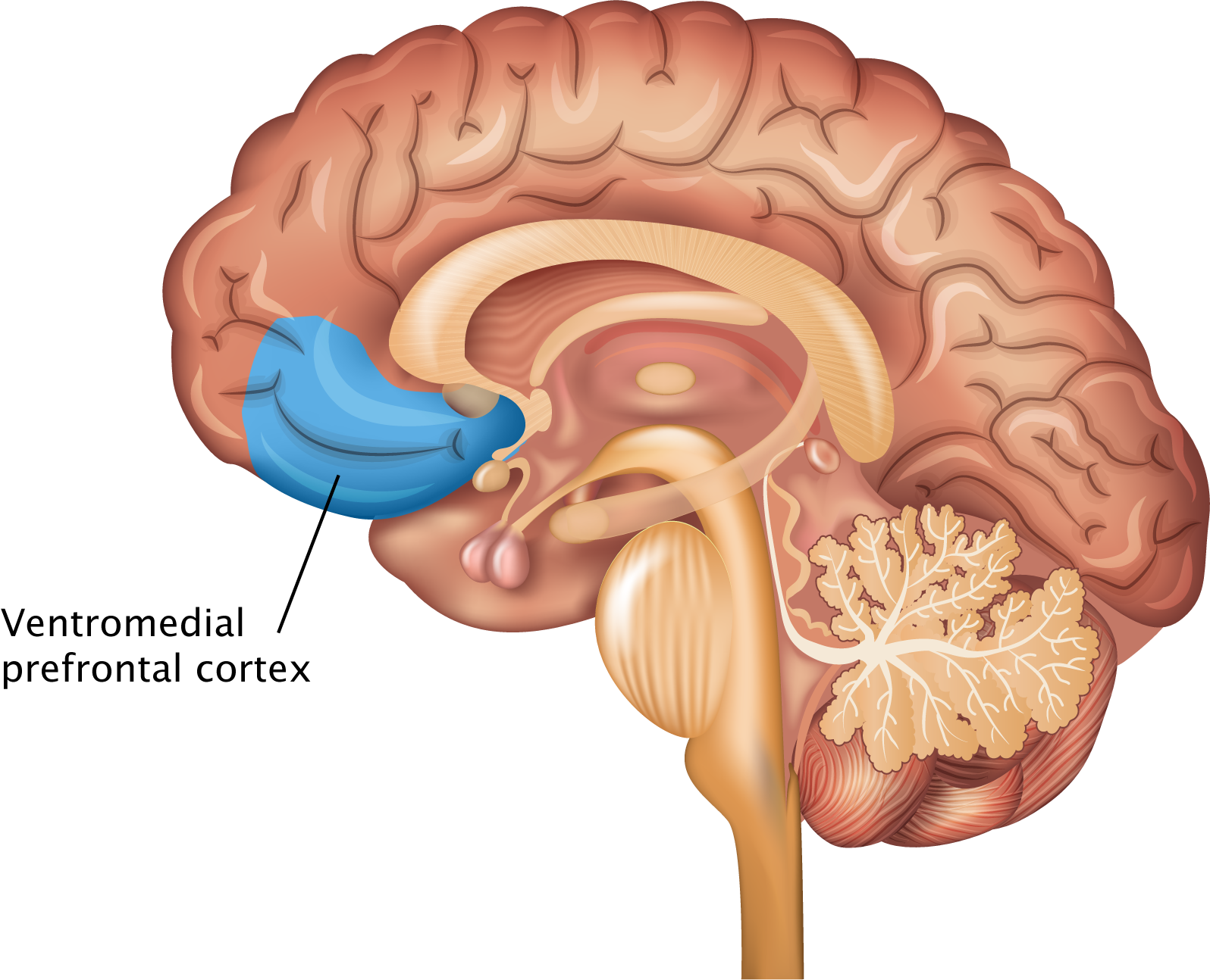 Frontal Lobe Diagram.Prefrontal Cortex The Science Of Psychotherapy