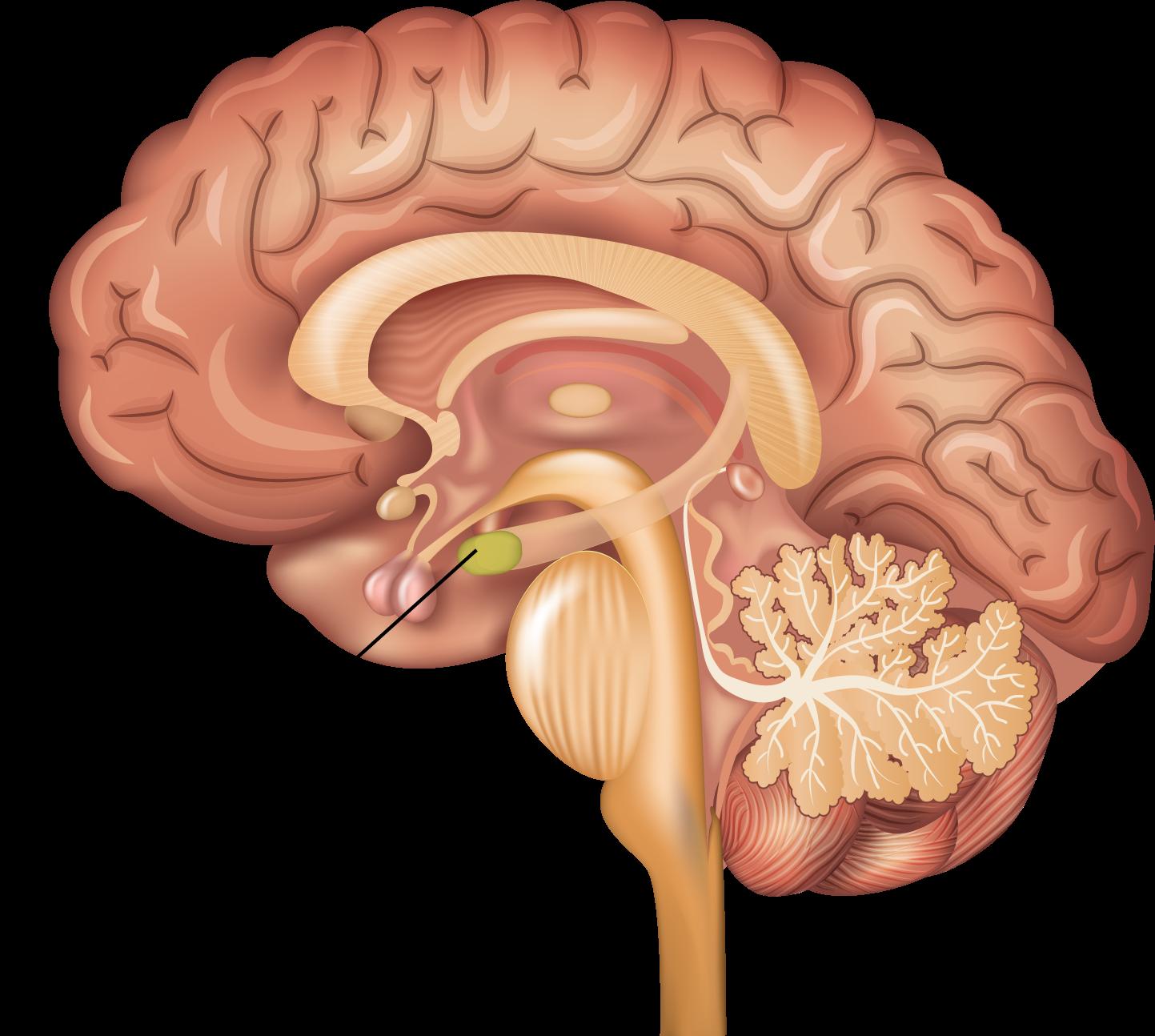 Amygdala | The Science of Psychotherapy